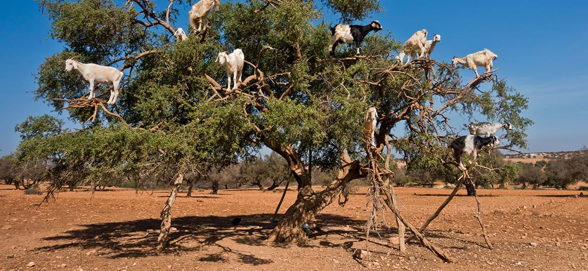 View of goats in Argan tree, luxury destination Essaouria, Morocco, Africa