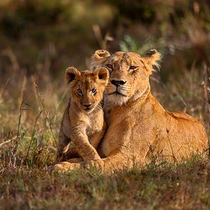 Lion and cub, Kruger National Park, South Africa